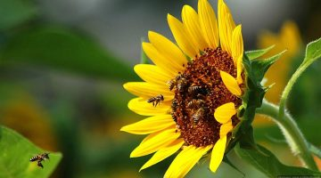 sunflower,-Bees,-insects-1920x1080